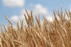 Пшеница 2-го класса в Казахстане