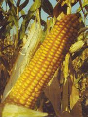 Cемена кукурузы Росс 130 МВ Раннеспелый гибрид