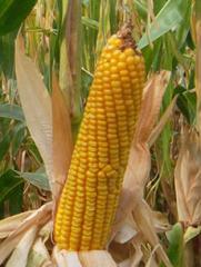 Cемена кукурузы Белкос 250 МВ Среднеранний гибрид