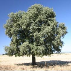 Oak of 1,8-2,2 m.
