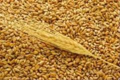 Wheat of the second class
