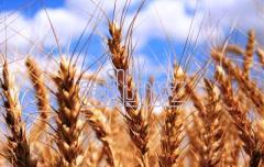 Wheat, wheat sale, wheat export, Kostanay