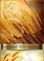 Пшеница, зерно