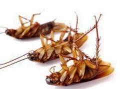 Extermination of cockroaches, Almaty, Kazakhstan