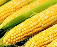 Кукуруза Молдавская 257