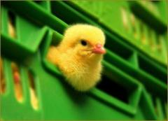Chickens broiler, Beijing ducklings