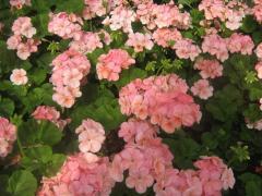 Seedling of klumbovy flowers