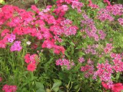 Рассада клумбовых цветов