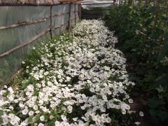 Seedling of annual flowers