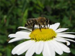 Honey donnikovy