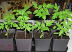 Vegetables seedling