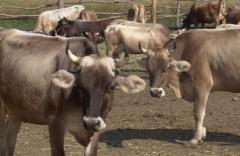 Скот крупный рогатый молочный