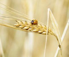 Barley, sale from Kazakhstan, Wholesale, Export, Mugan LLP