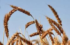 Wheat soft 3 classes, in Kazakhstan, for export