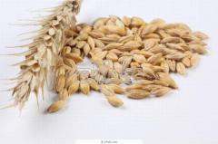 Agriculture Kostanay, Wheat fodder the 3rd a class