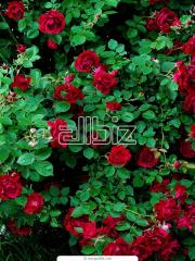 Саженцы роз, Рассада, саженцы, озеленение