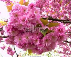 Oriental cherry saplings