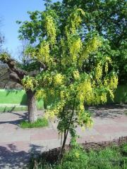 Acacia saplings