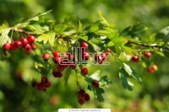 Hawthorn saplings