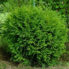 Tui Zapadnaya Litl Chempion, Thuja occidentalis