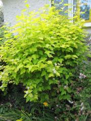 Puzyreplodnik kalinolistny Purpureus, Physocarpus