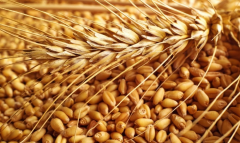 Soft wheat