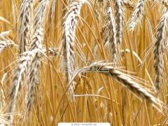 Wheat 4 categories