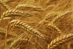 Grain forage crops