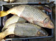 The fish cooled the Sazan