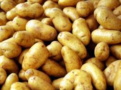 Potatoes early, Almaty