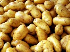 We sell sredneranny potatoes of the Dutch grades