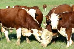 Calves of cattle