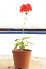 Geranium, houseplants, Geranium, Almaty,