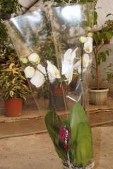 Spathiphyllum, houseplants, flowers, Almaty,