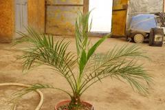Palm tree date, date, Almaty, Kazakhstan