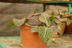 Fittonia, Houseplants, Almaty, Kazakhstan
