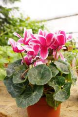 The cyclamens, Cyclamen, Decorative houseplants