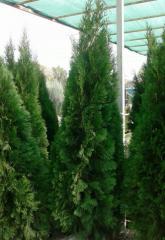 Smaragd - колоновидные туи