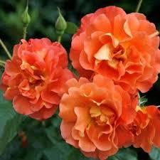 Розы  'WESTERLAND'