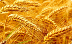 Пшеница яровая мягкая Л - 503