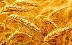 Пшеница яровая мягкая Пирамида