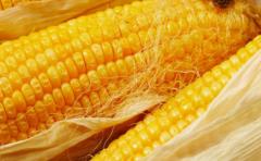 Гибрид кукурузы Обский 140 СВ