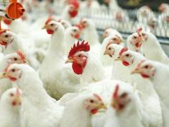 Maxcare stern for broilers