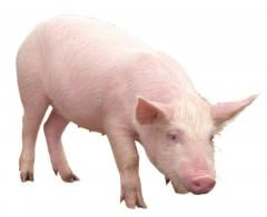 Feed additives for pigs of Maxcare