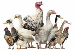 Premix for breeding hens, geese, ducks, guinea