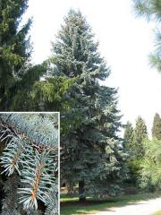 Prickly Siberian Spruce of 2,5 m