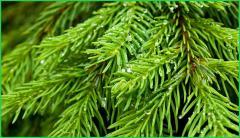 Pine of fluffy 1 m