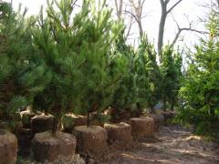 Pine of fluffy 1.5 m