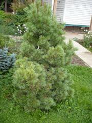 Pine of fluffy 2 m