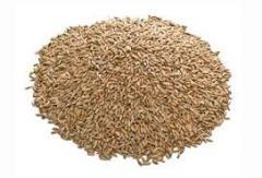 Grain rye